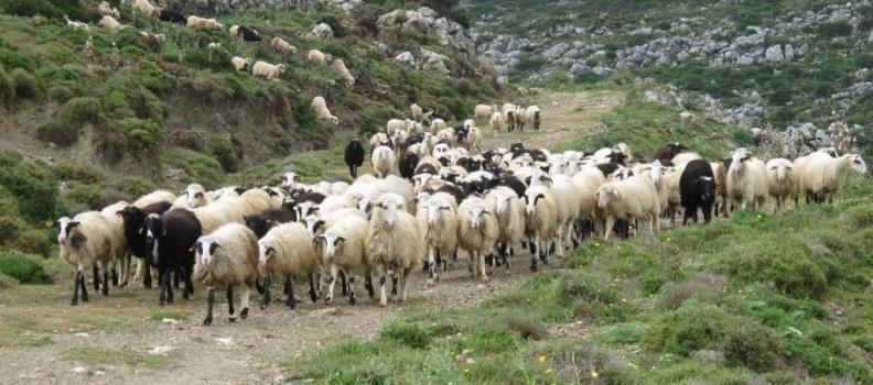 Επιστολή της Περιφερειάρχη στον αρμόδιο Υπουργό για τη στήριξη των κτηνοτρόφων της Λέσβου